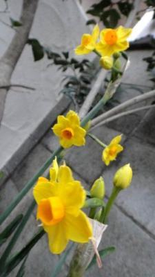 04黄色水仙