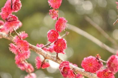 04  桜井神社 紅梅