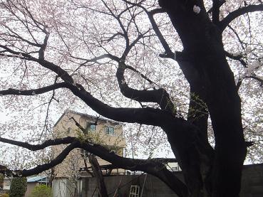 満開の桜5