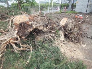 松の根っこ1