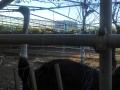 F1001022ダチョウ牧場