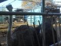 F1001028ダチョウ牧場