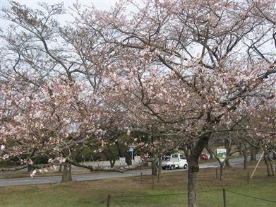 さくらの里、十月桜