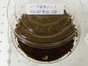 11久留米1番孵化
