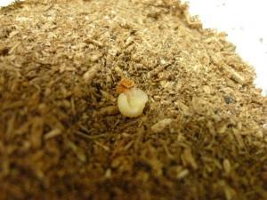 久留米新3番孵化