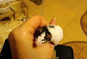 20100408 2月生まれのパンダマウス1