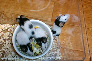 20100408 3月生まれのパンダマウス♂集合