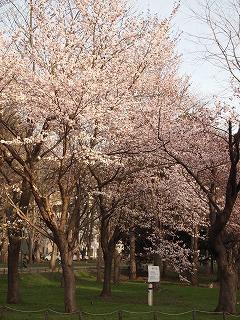 北大の夕暮れ桜