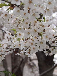 散歩の途中桜