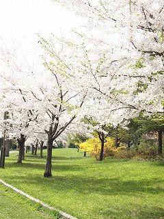 こちらも桜満開!