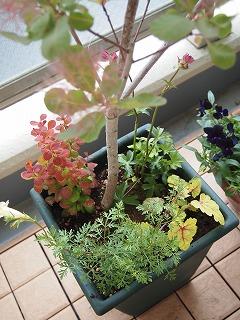 帰ってスモークツリー植えました。