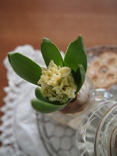 ヒヤシンス、咲いてる?