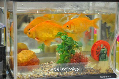 金魚ちゃん-2