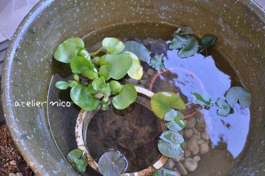 睡蓮鉢と睡蓮