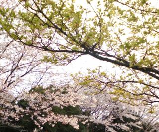 春桜と新緑