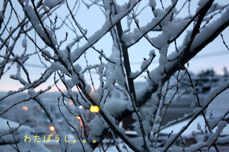 朝。。。木々に雪。。。わたぼうし。