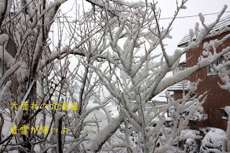 桜の木に雪が着いて。。。重そうです