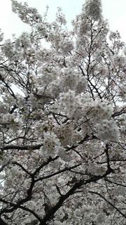 20100329sakura.jpg