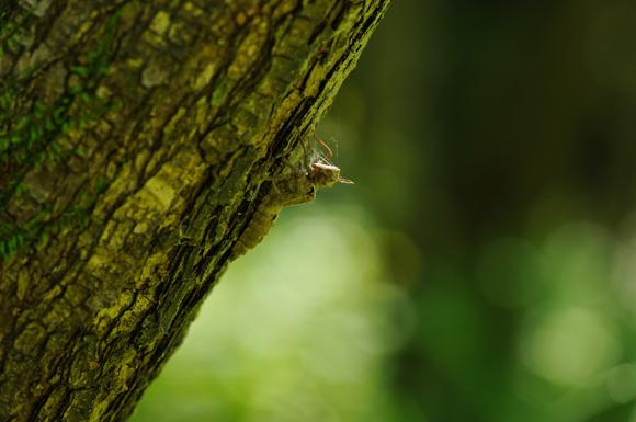 サラサヤンマ羽化殻