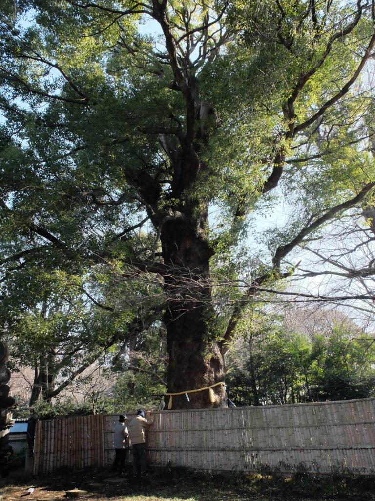 上野の祖木といわれる御神木『大楠』_3