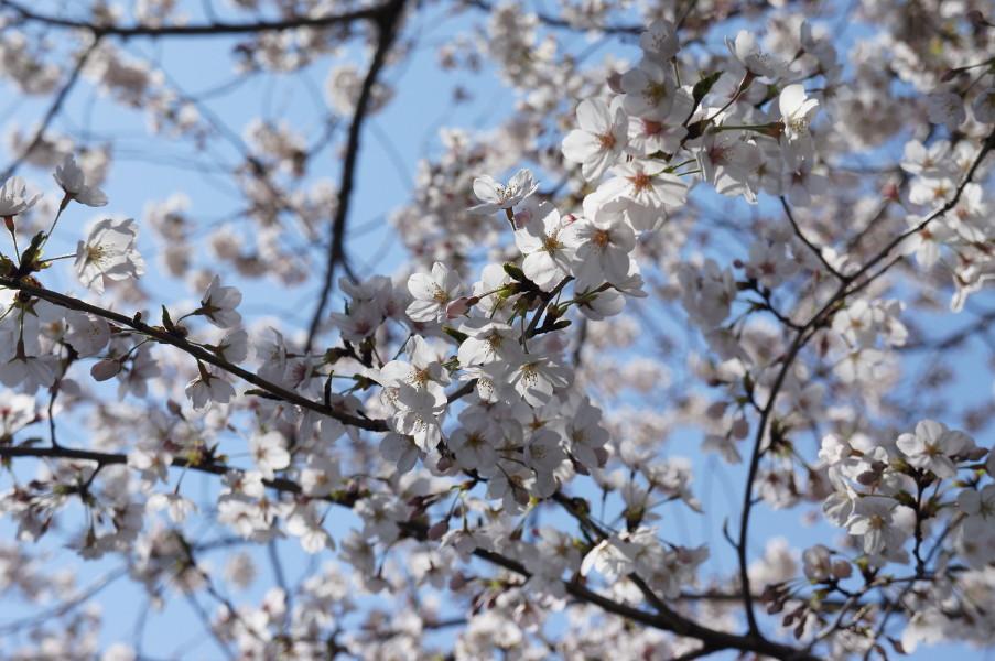 2012-04-08小豆沢桜