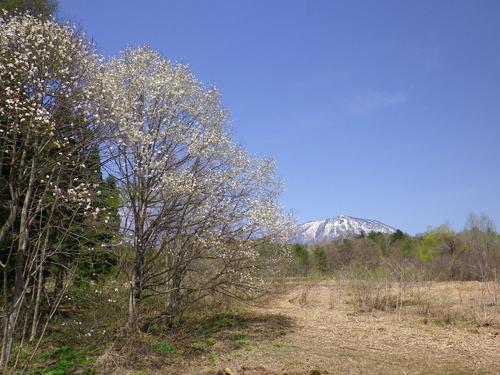 11.5.9コブシ黒姫山