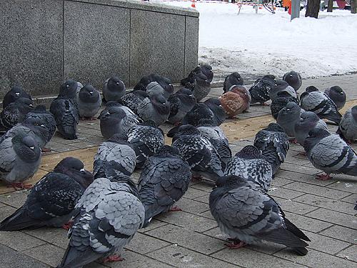 大通公園 冬 鳩