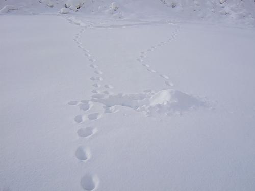 冬 豊平川 足跡