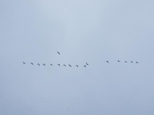 白鳥 渡り鳥