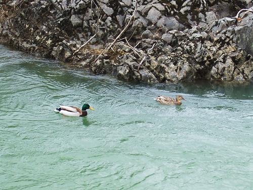 豊平川 十五島公園 鴨