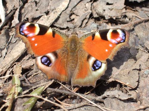 クジャク蝶