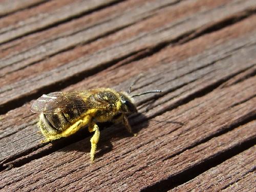 小さなミツバチ