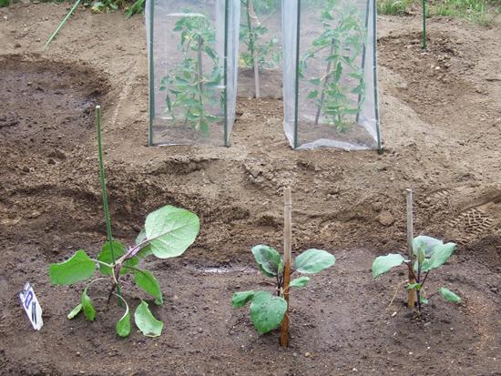 畑 自家菜園 なす トマト