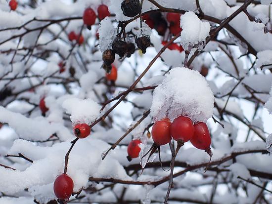 積雪 赤い実