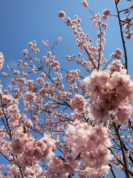普光寺 椿寒桜