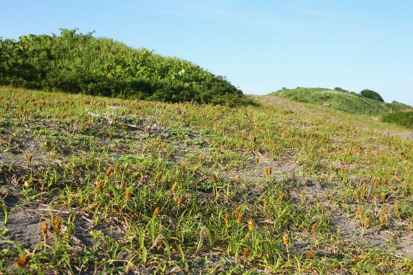 恋人海岸 伊達 有珠海岸 植物