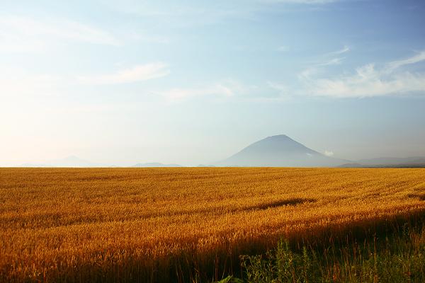 羊蹄山 麦畑 金色