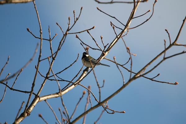 豊平川 野鳥 シジュウカラ