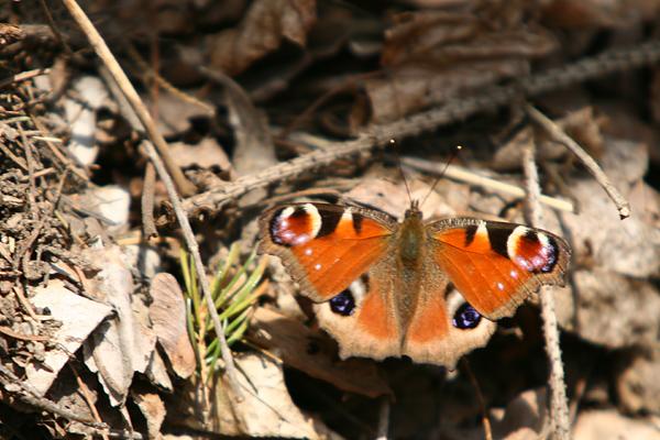 定山渓 クジャク蝶