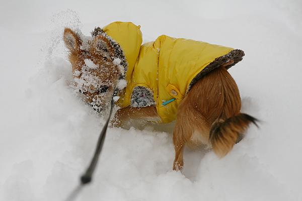 雪 ラッセル 茶太郎
