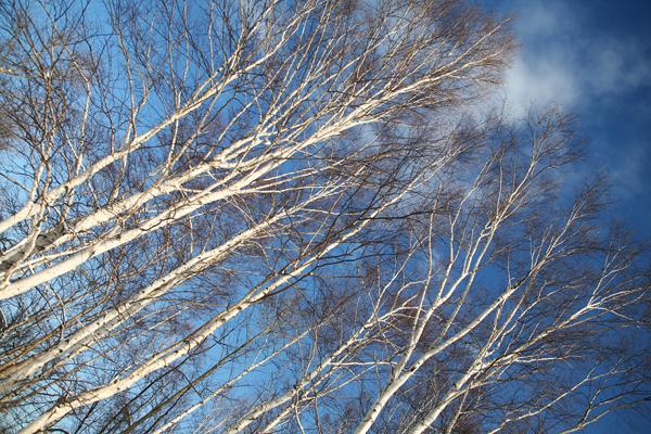 白樺 青い空