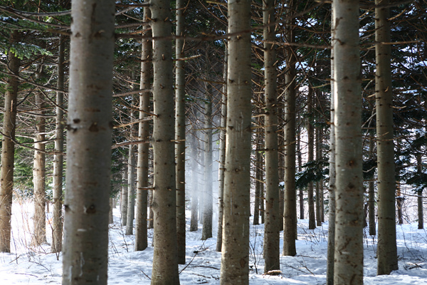 落ちる雪 キラキラ 針葉樹