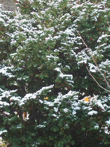 イチイ 初雪