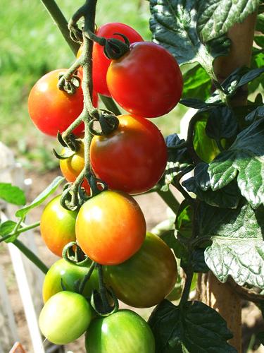 家庭菜園 プチ トマト