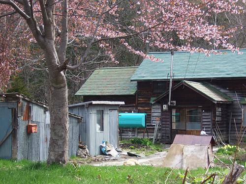 定山渓付近 桜