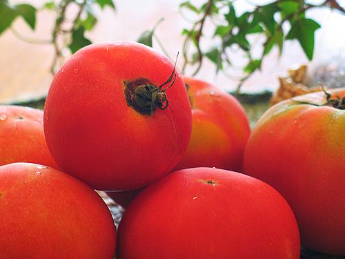 人糞 トマト 完熟