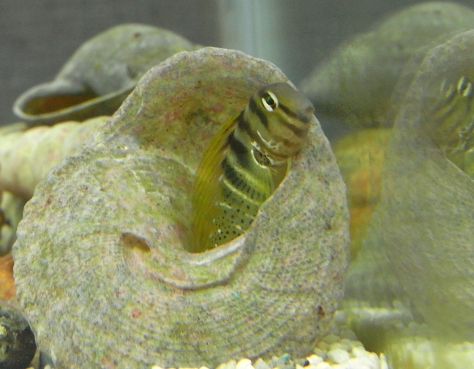 貝に入るナベカ