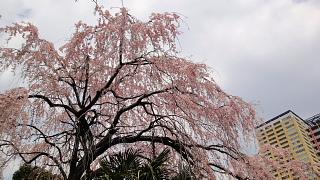 枝垂れ桜谷中.jpg