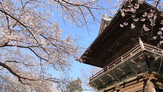 称名寺桜1.jpg