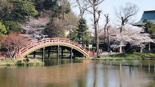 太鼓橋と桜.jpg